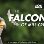 LG&E: The Falcons of Mill Creek